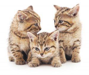 Assicurazione gatto : Assicurare il gatto online con Assur O'Poil