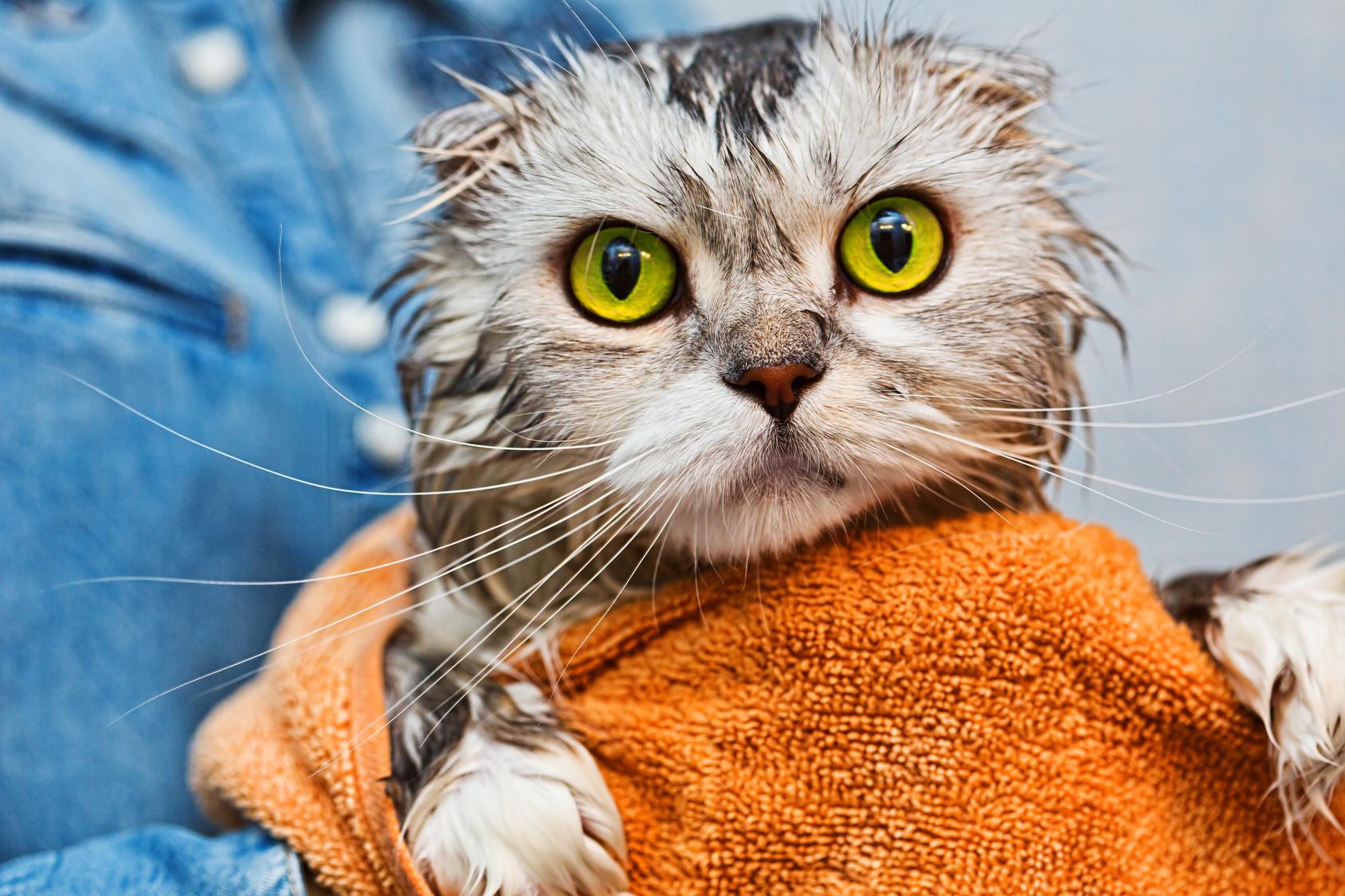Perchè i gatti hanno paura dell'acqua? Comportamenti dei gatti, gatti comportamento