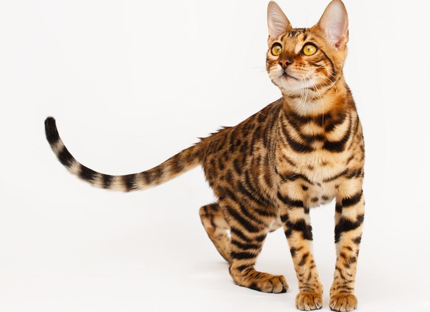 Il Bengala O Gatto Leopardo Origini Caratteristiche Tutte Le