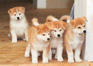 Akita inu : Tutte le razze di cani, tutte le razze canine