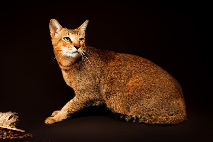 Chausie : Tutte le razze dei gatti