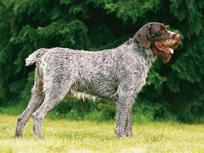 Barbu Tcheque : Tutte le razze canine
