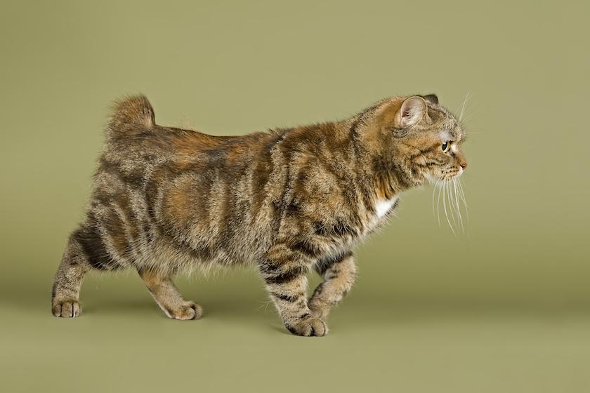 Cymric : Tutte le razze di gatti