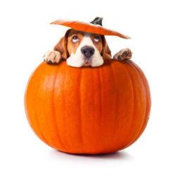 Zucca ai cani : Il mio cane può mangiare la zucca?