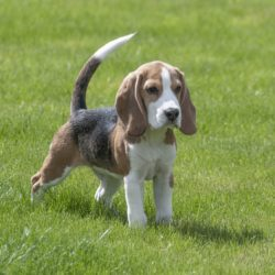 Beagle : Tutte le razze canine
