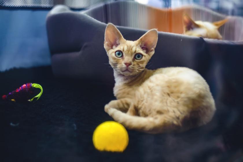 German Rex : Tutte le razze di gatti