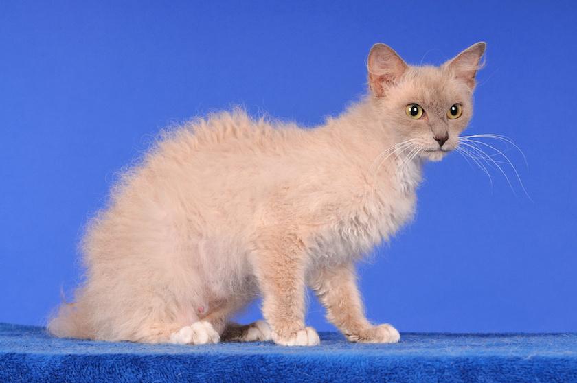 LaPerm: Tutte le razze feline
