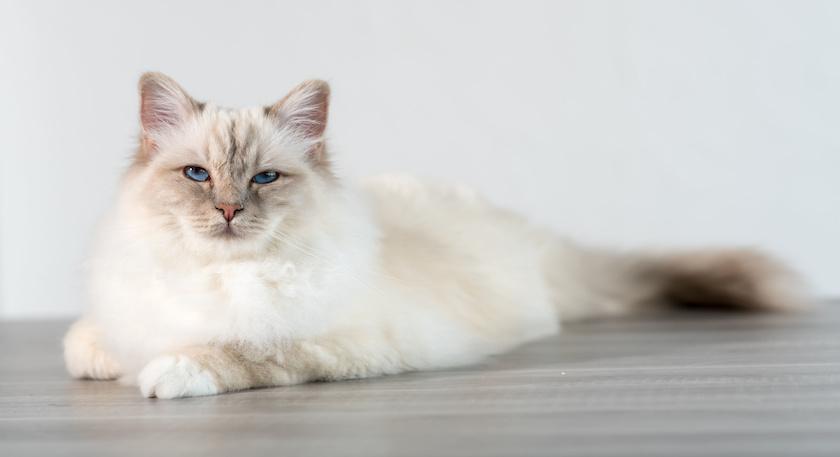 Il Birmano: Razza di gatto socievole