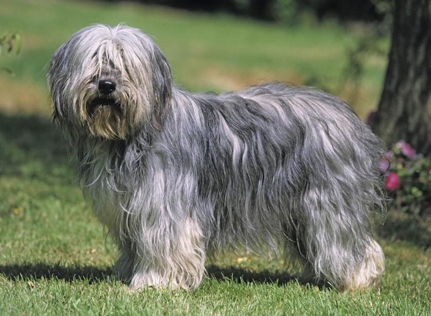 Cane da Pastore di Vallée - Razza di cane docile