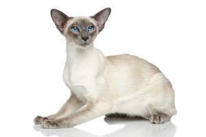 Gatto Orientale: Razza di gatto socievole