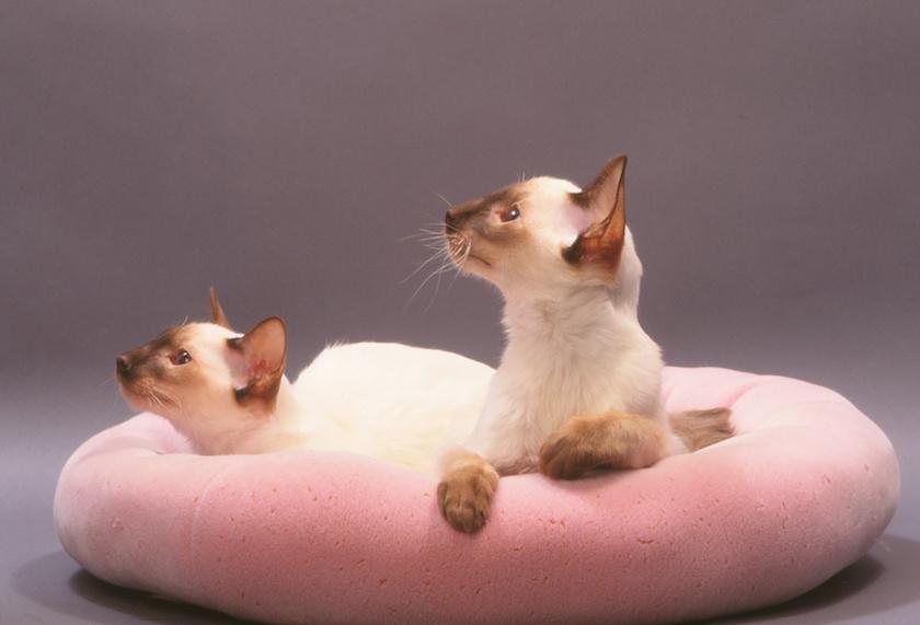 Il Balinese - Razza di gatto intelligente