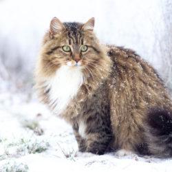 Il Siberiano : Razza di gatto socievole e affettuoso
