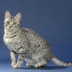 Mau Egiziano : razza di gatto calmo