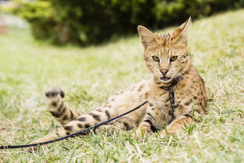 Il Savannah : Razza di gatto socievole e affettuoso