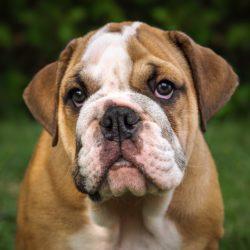 Bulldog inglese : Razza di cane affettuoso