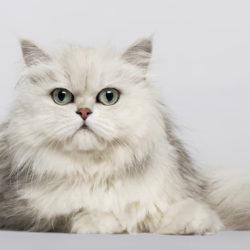 Il Persiano : Razza di gatto docile