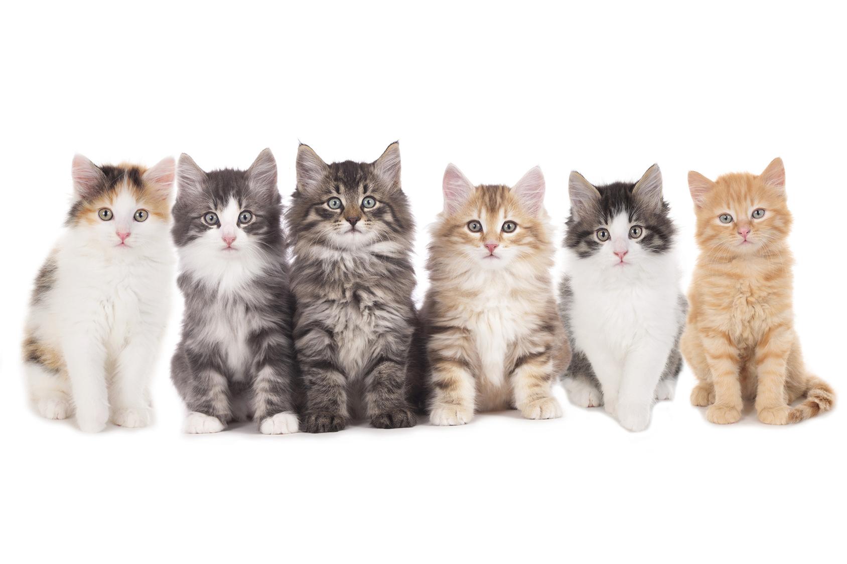 Blog gatti : Tutte de razze dei gatti, tutte le razze di gatti
