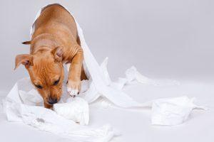 Cane che mangia feci : coprofagia cane