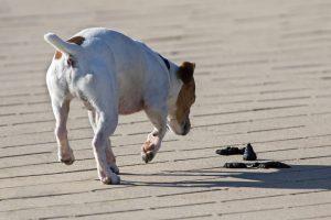 Coprofagia : cane mangia feci