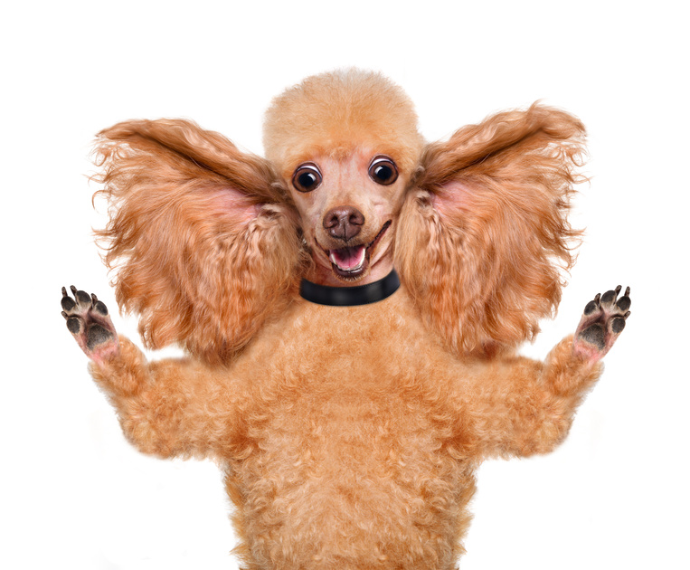 Pulire orecchie cane : come pulire le orecchie del cane
