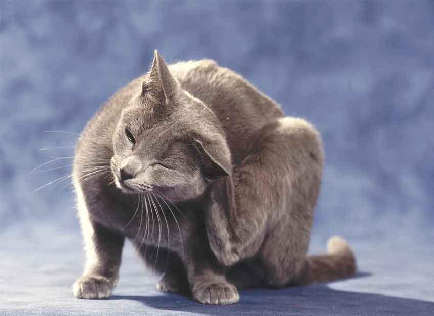 Allergia gatto : malattia del gatto come sapere gatto allergico ?