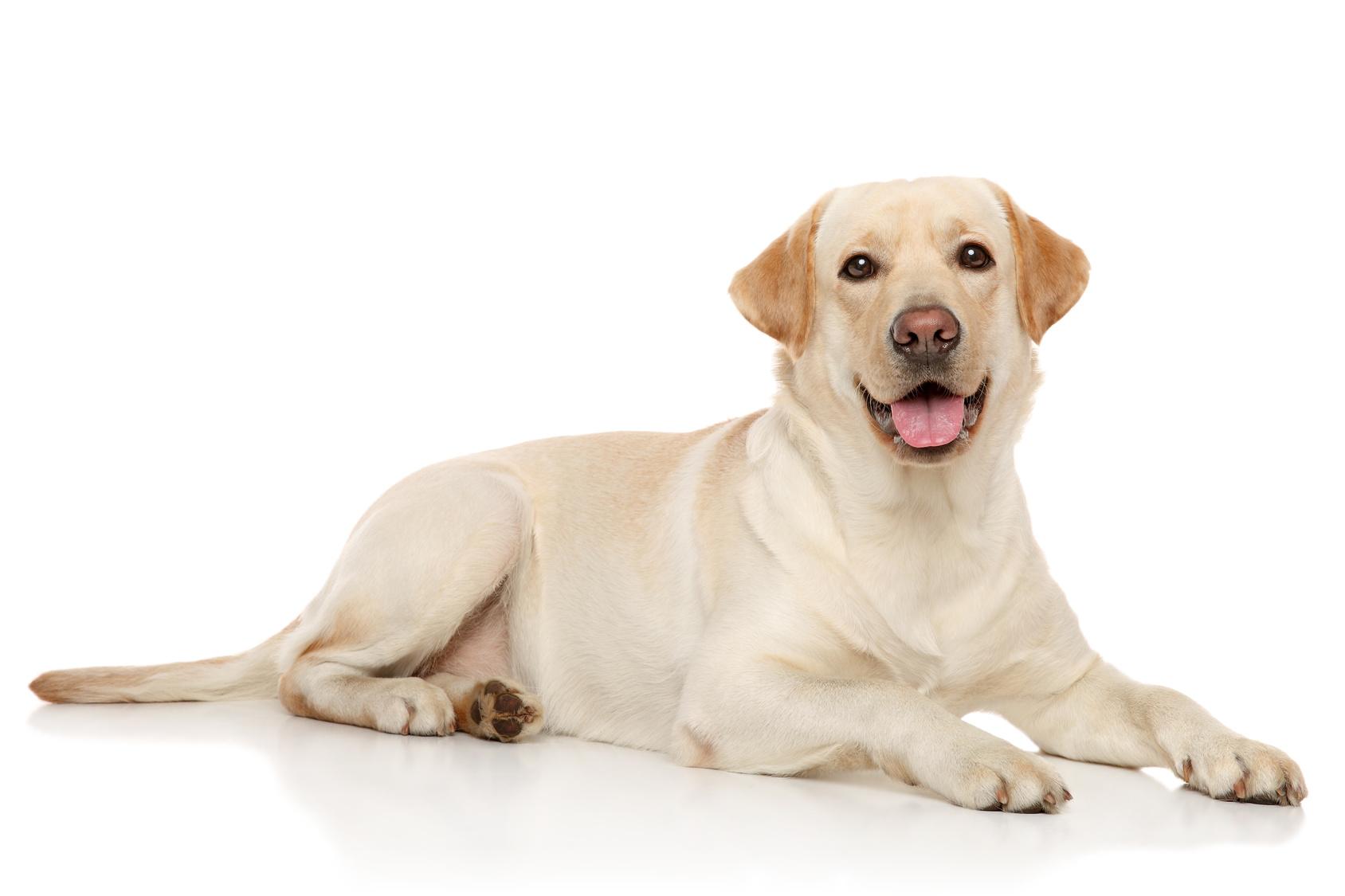 Tutte le razze di cani : il labrador