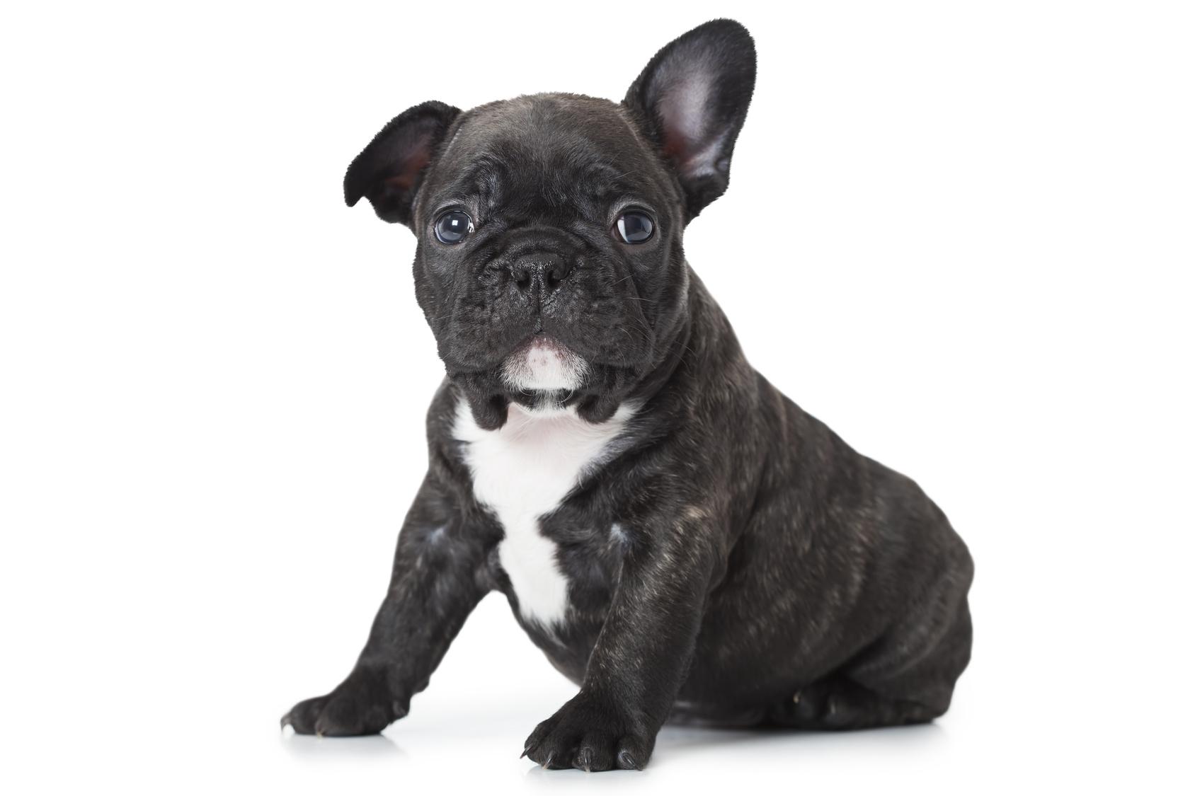 Bulldog francese : tutte le razze di cani