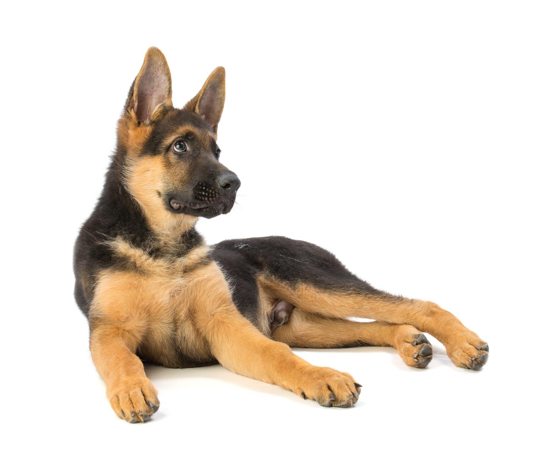 Pastore Tedesco : tutte le razze di cane
