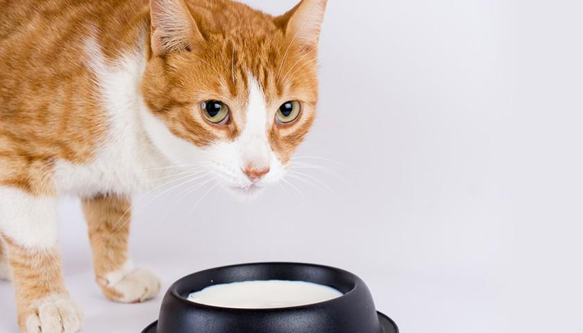 I gatti possono bere il latte ?