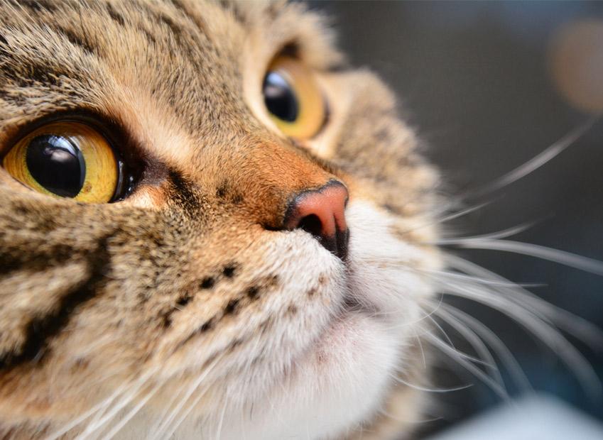 Vibrisse gatto A cosa servono i baffi dei gatti, come si chiamano i baffi del gatto