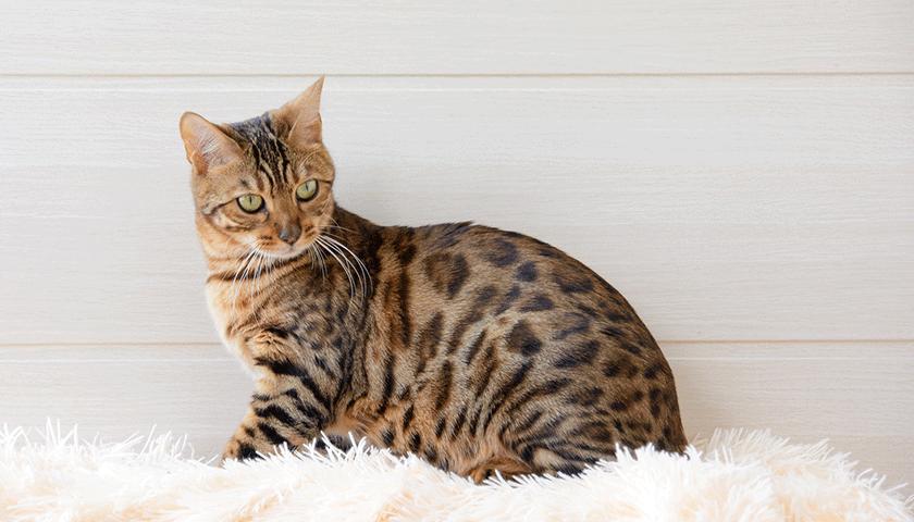 Eliminare odore urina gatto : come pulire pipì gatto?