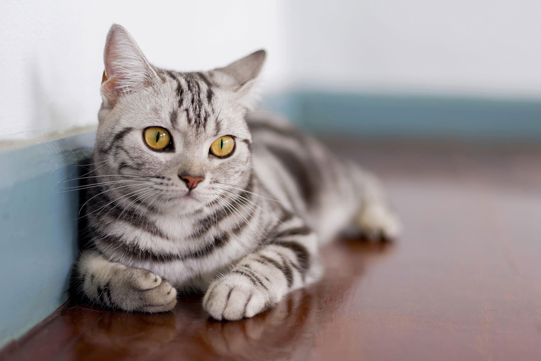 American Shorthair : Tutte le razze di gatti