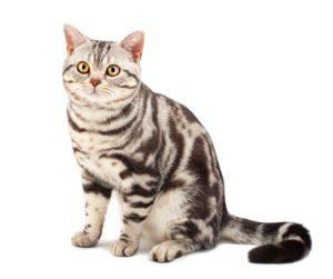 American Shorthair : Tutte le razze dei gatti