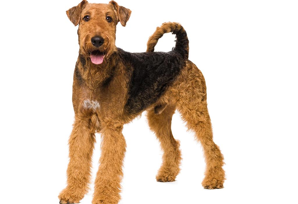 Airedale Terrier : Tutte le razze di cani, tutte le razze canine