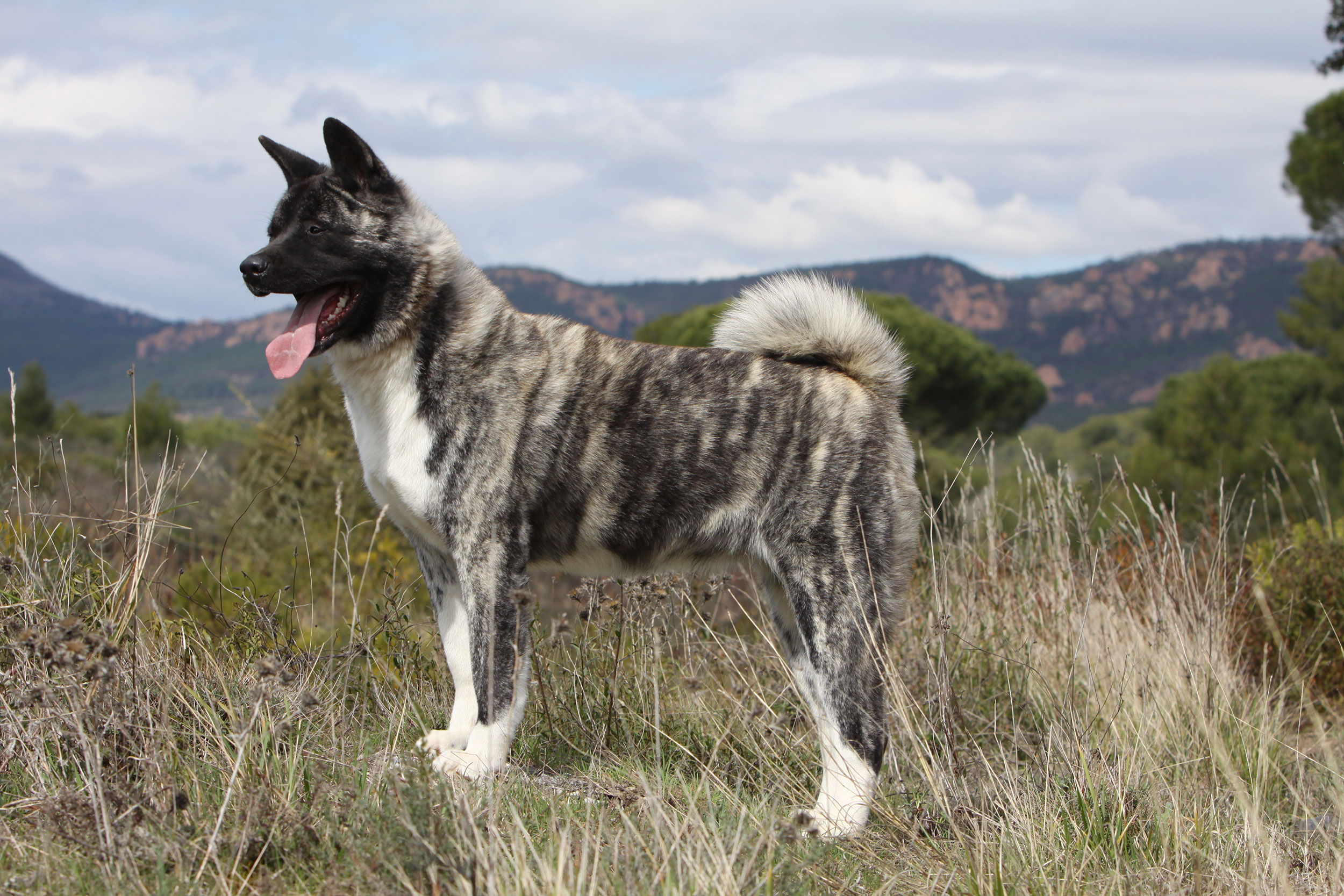 Akita americano : Tutte le razze di cani, tutte le razze canine