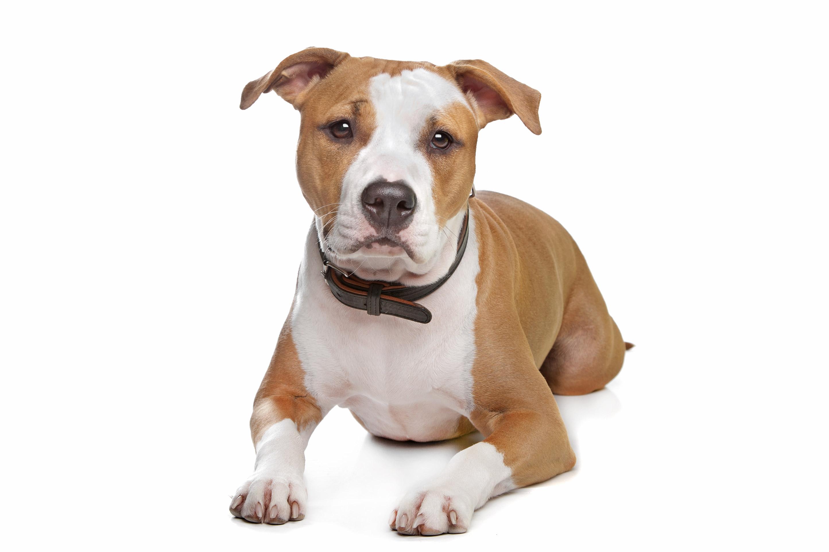 AMSTAFF : American Staffordshire Terrier