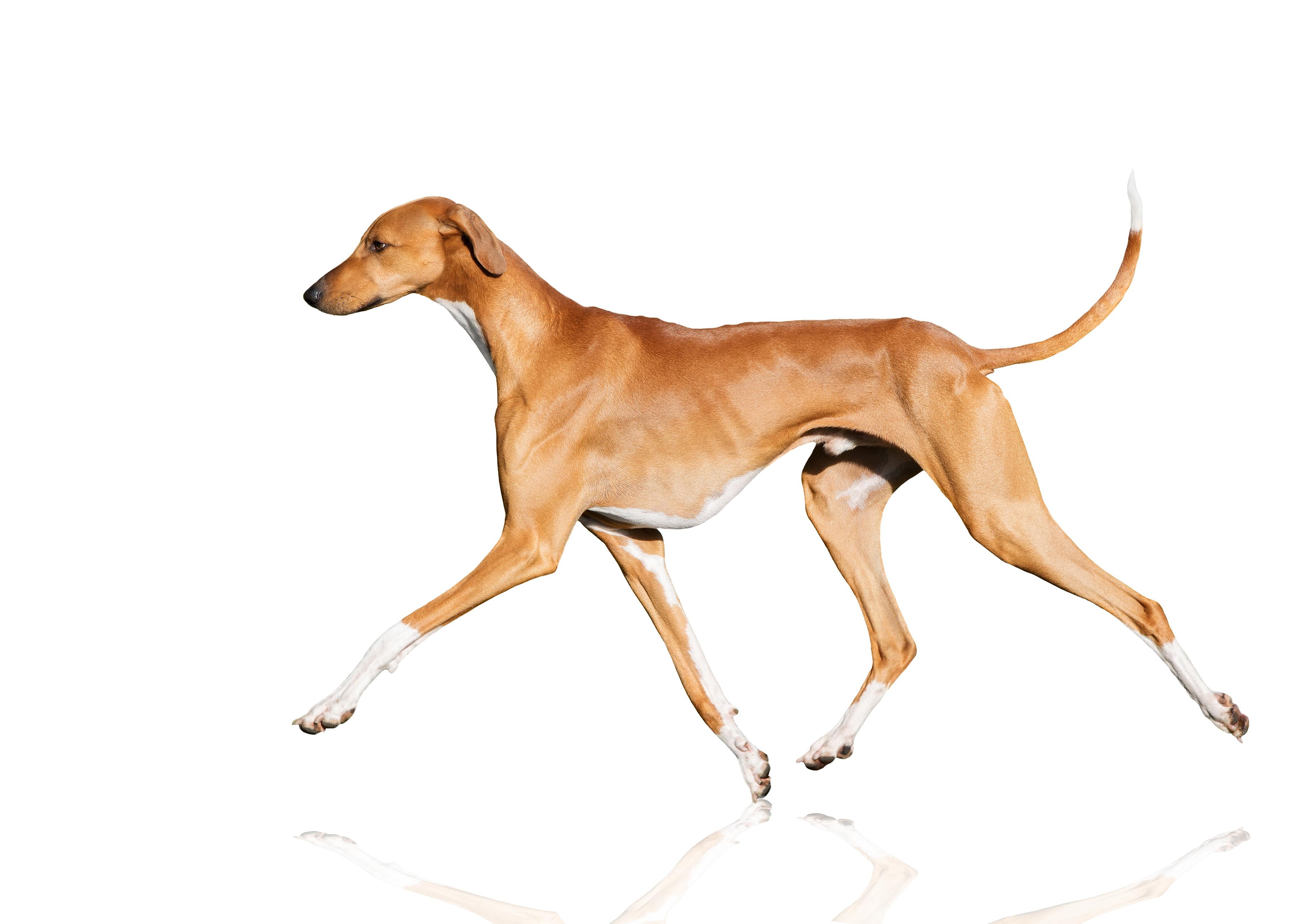 Azawakh : Tutte le razze canine