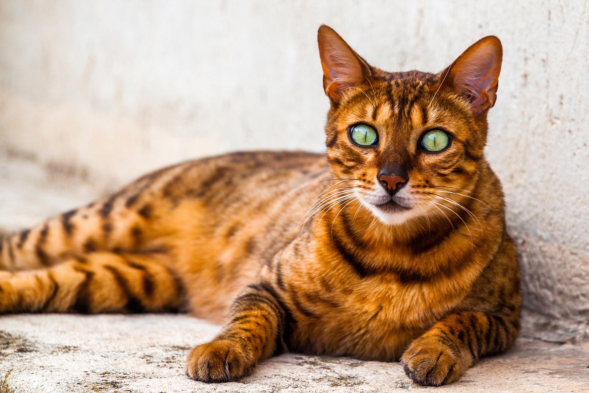 California Spangled : Tutte le razze dei gatti