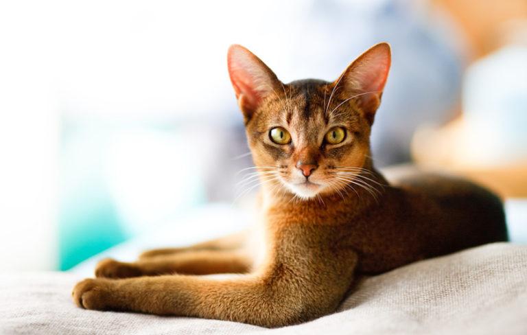 Gatto di Ceylon : Tutte le razze dei gatti
