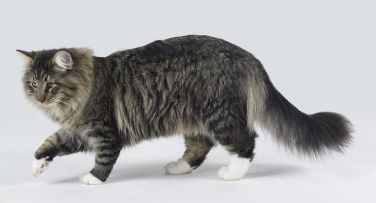 Gatto norvegese : Tutte le razze dei gatti