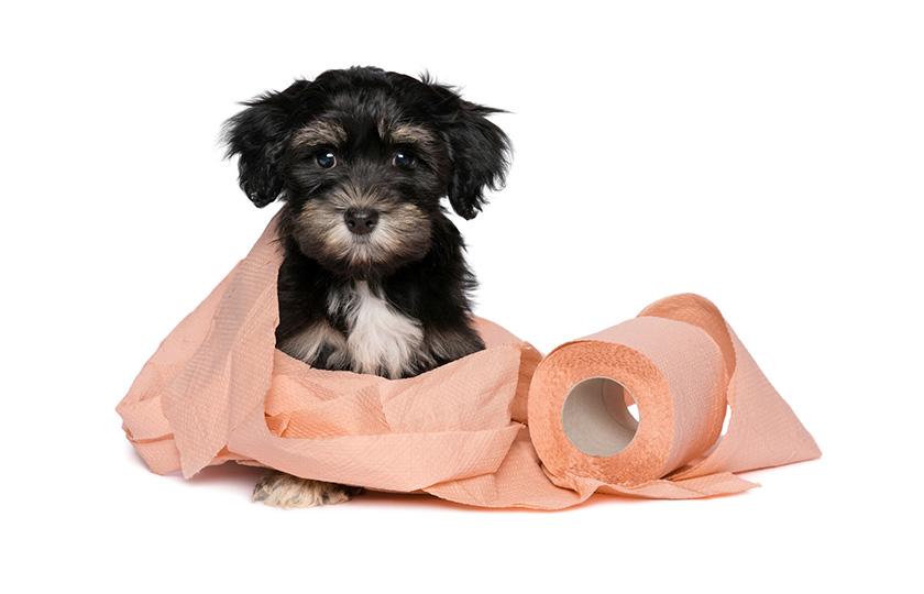 Come insegnare al cane a fare i bisogni sulla traversina?