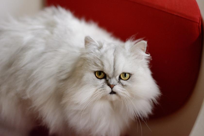 Chinchilla Persiano : Tutte le razze di gatti