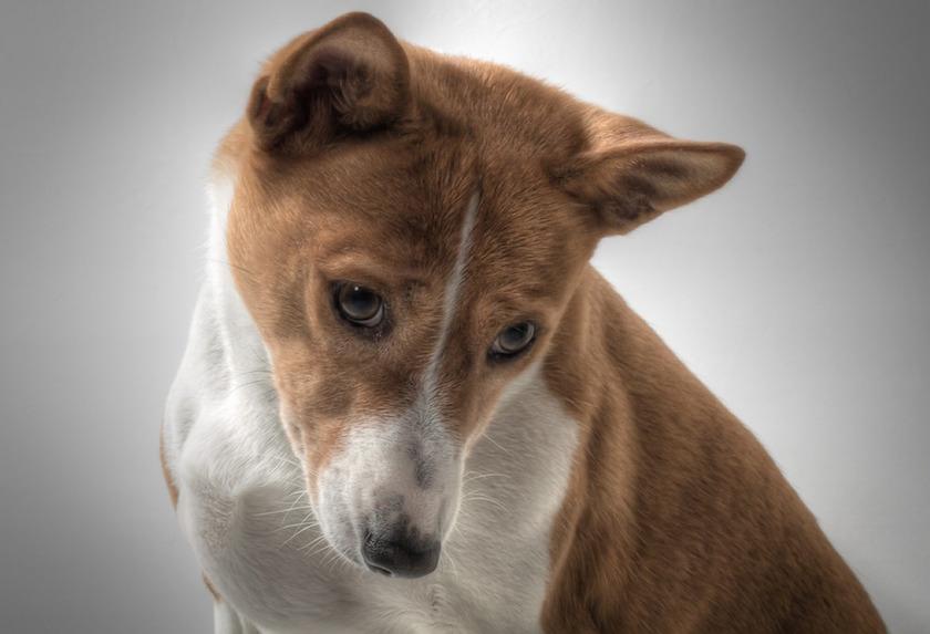 Basenji : Tutte le razze canine