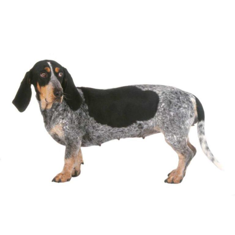 Basset bleu de Gascogne : Tutte le razze canine