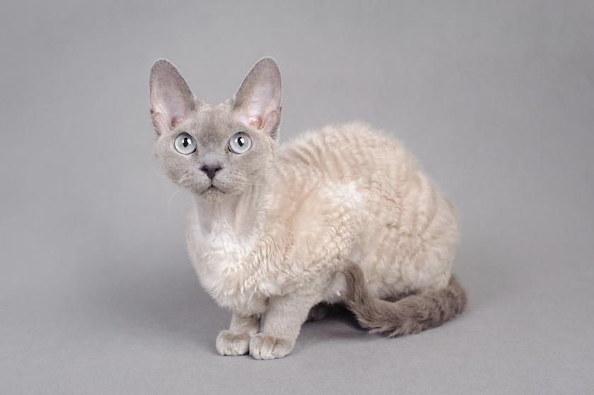 Devon Rex : Tutte le razze dei gatti