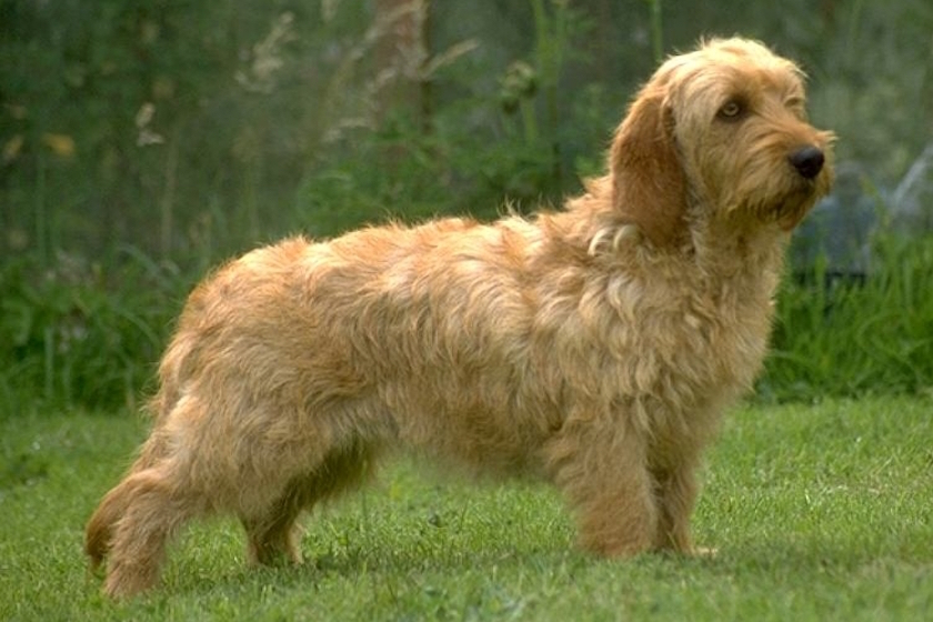 Basset fauve de Bretagne : razze canine
