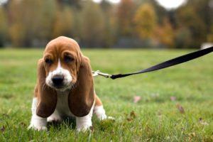 Basset Hound : Tutte le razze di cane