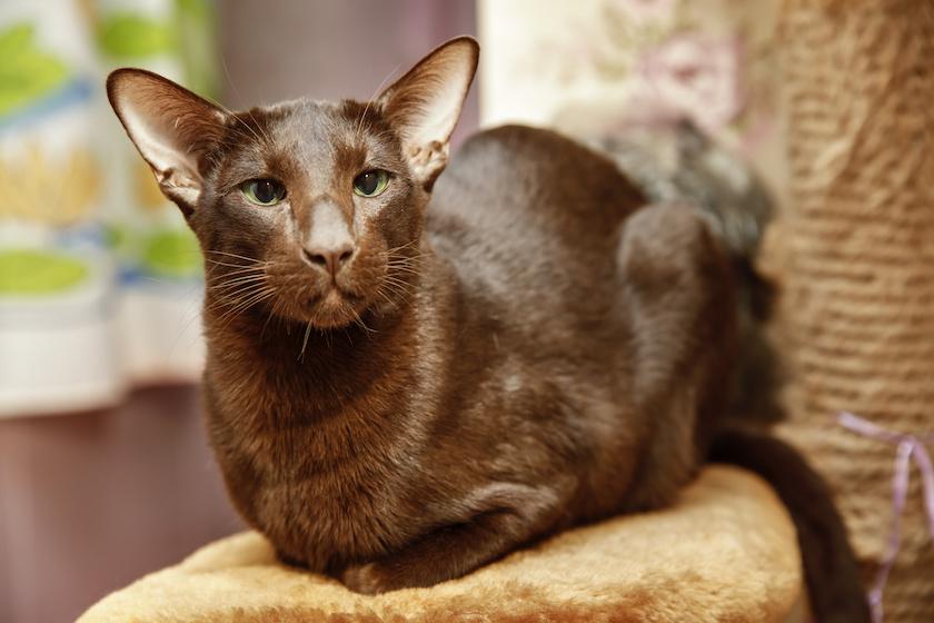 Havana Brown : Tutte le razze di gatti Assur O'Poil