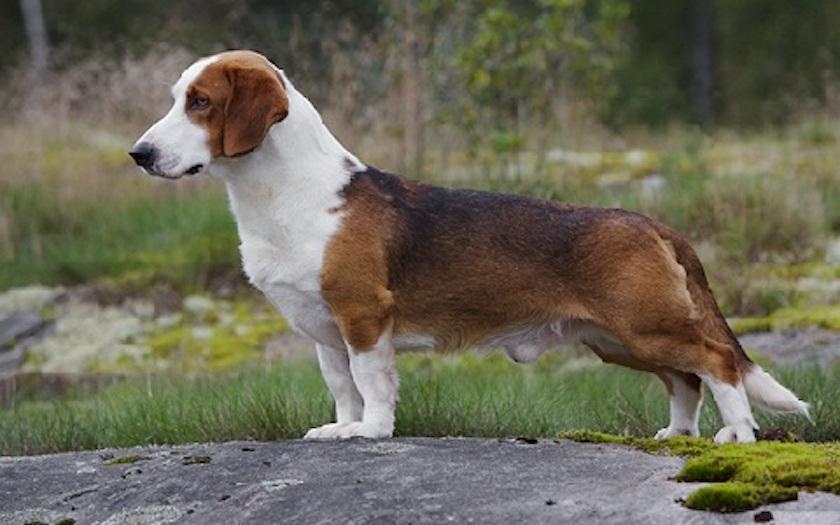 Segugio della Westfalia : tutte le razze di cane