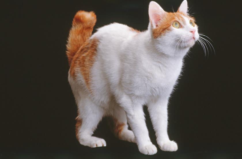 Japanese bobtail : razza gatto